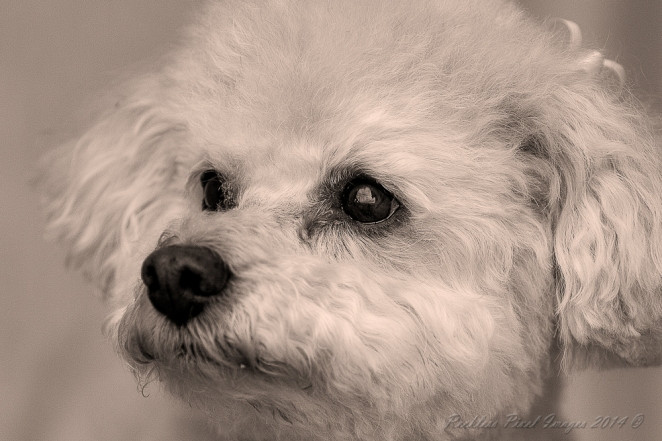 Snuggs my lovely little Bichon Poo. I found yet another lost photo her.